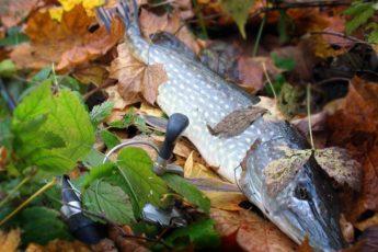 Ловля щуки осенью на спиннинг